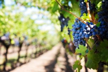 De la vigne au raisin