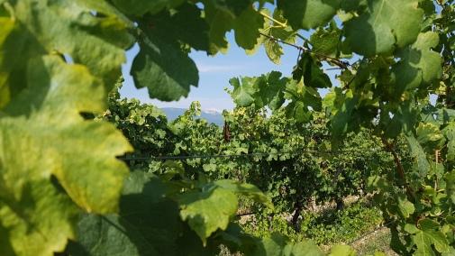Le Mont-Ventoux à travers les vignes