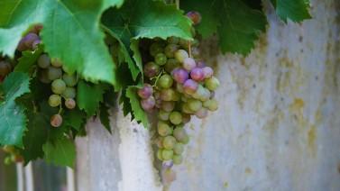 vine-3076462 (2)